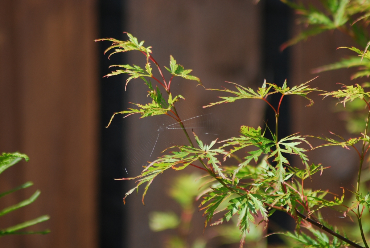 Japanese Maple Seiryu